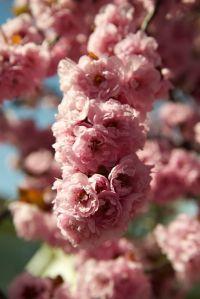 cherry_blossom_CU