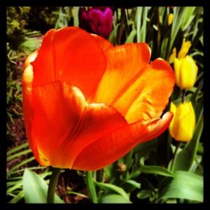 teahouse_tulip