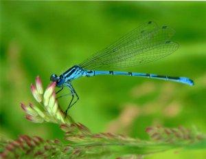 Blue dragonfly001