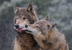 jeff-norton_wolf-kiss