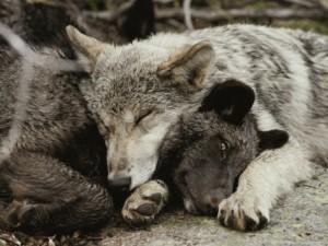 wolf_cuddle