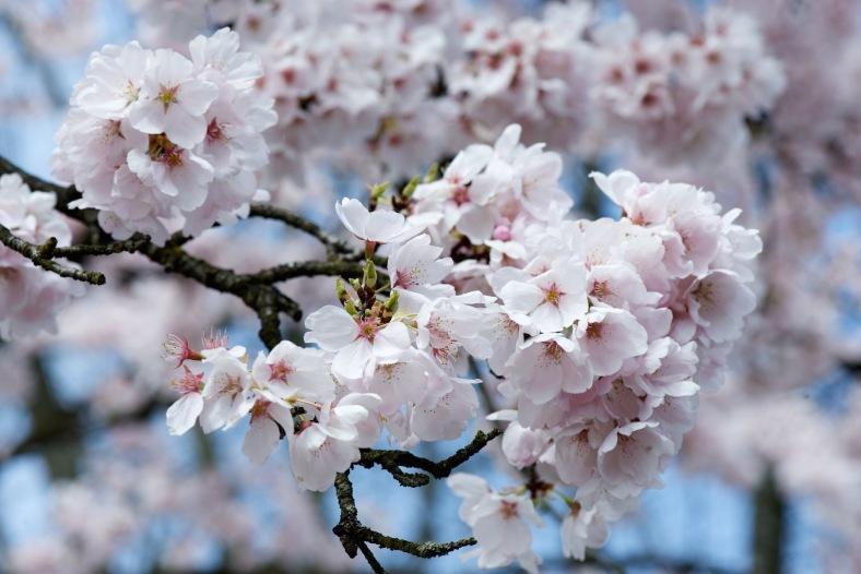 blog_branch_cherry_blossom