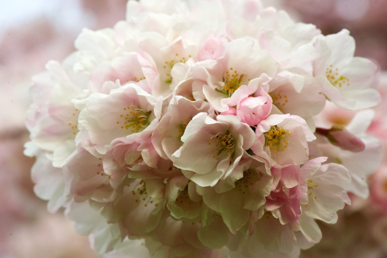 blog_cherryblossoms2015 47love copy