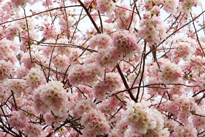 blog_cherryblossoms2015 48love copy