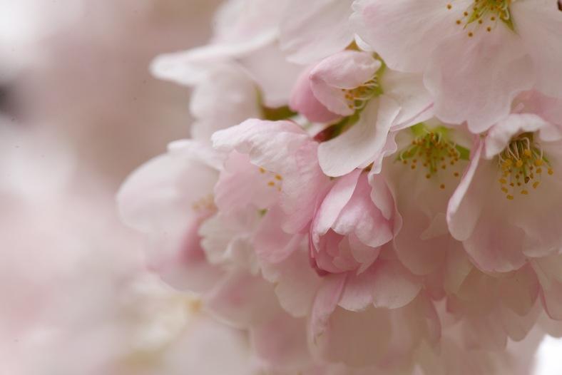 blog_macro_cherry_blossom