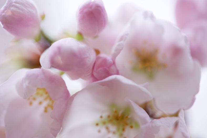 blog_macro_pink_cherry_blossoms