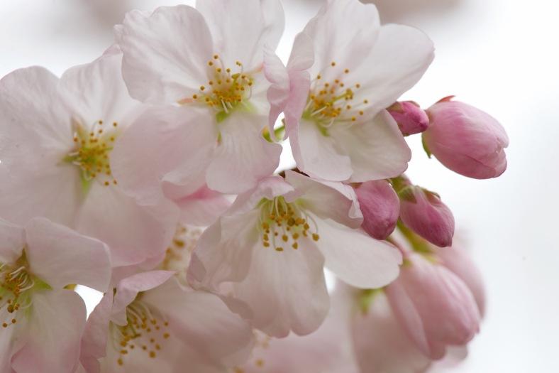 blog_pink_cherry_blossoms