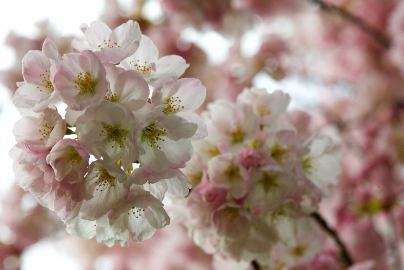 blog_two_bunches_cherry_blossoms