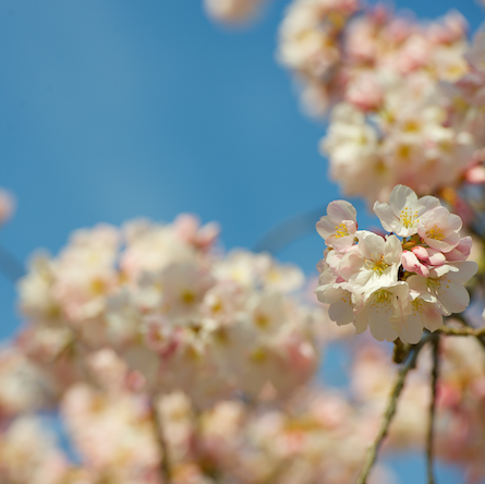 cherry blossoms 031015 16