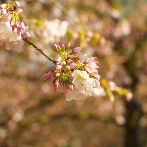 cherry blossoms 031015 6