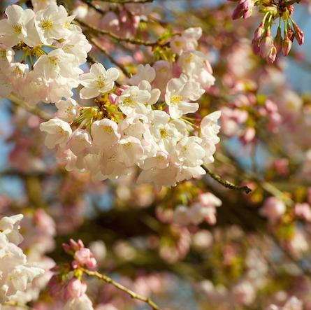 cherry blossoms 031015 9