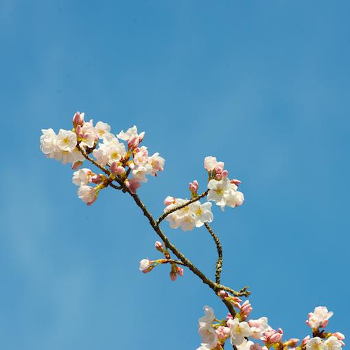 cherry blossoms 031015_bluesky
