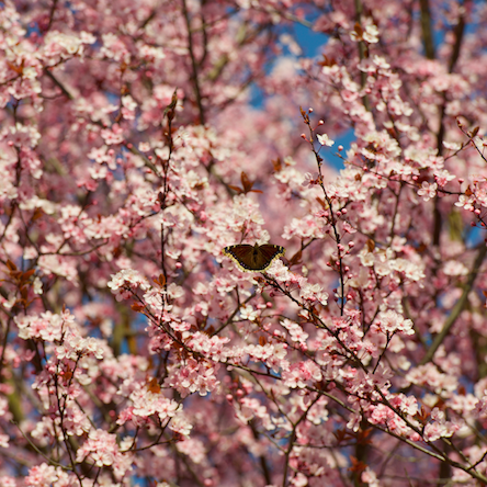 cherry blossoms_brownButterfly
