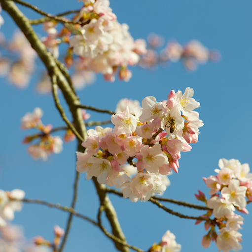 cherry blossoms_bee