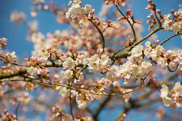 cherry blossoms_FB