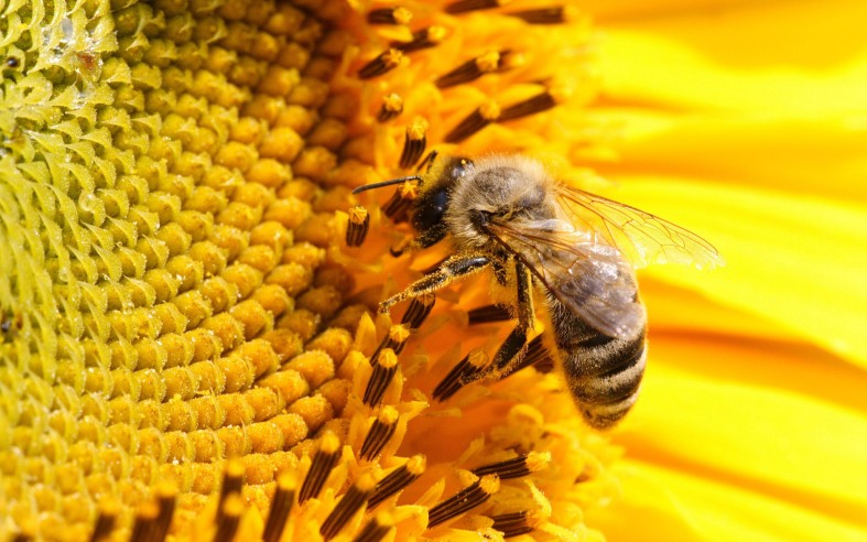 bee-animal-wallpapers21